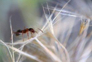 муравьиный экстракт